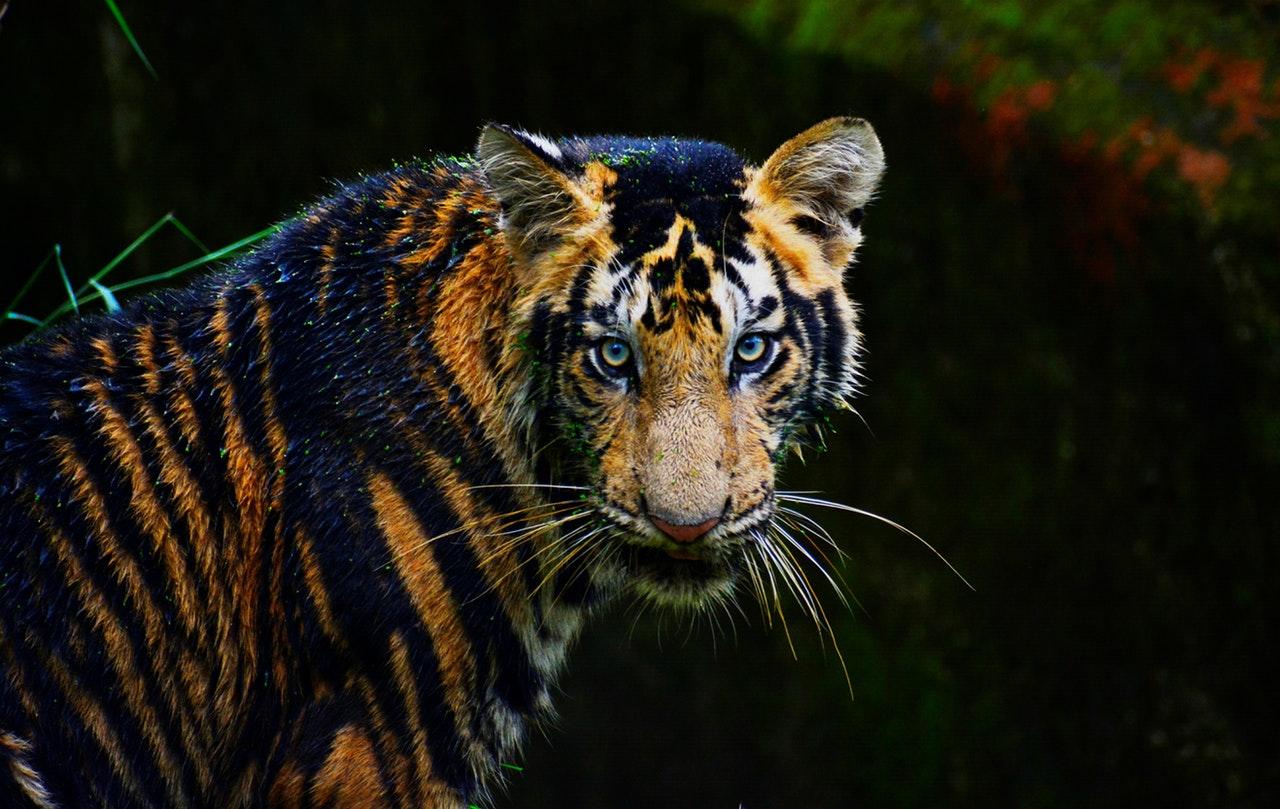 Tiger-pexels-774544.jpeg