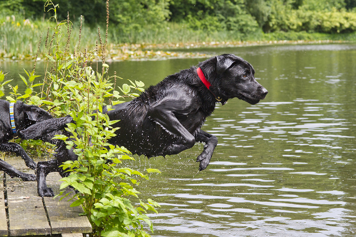 Britain's first dog diving competition -