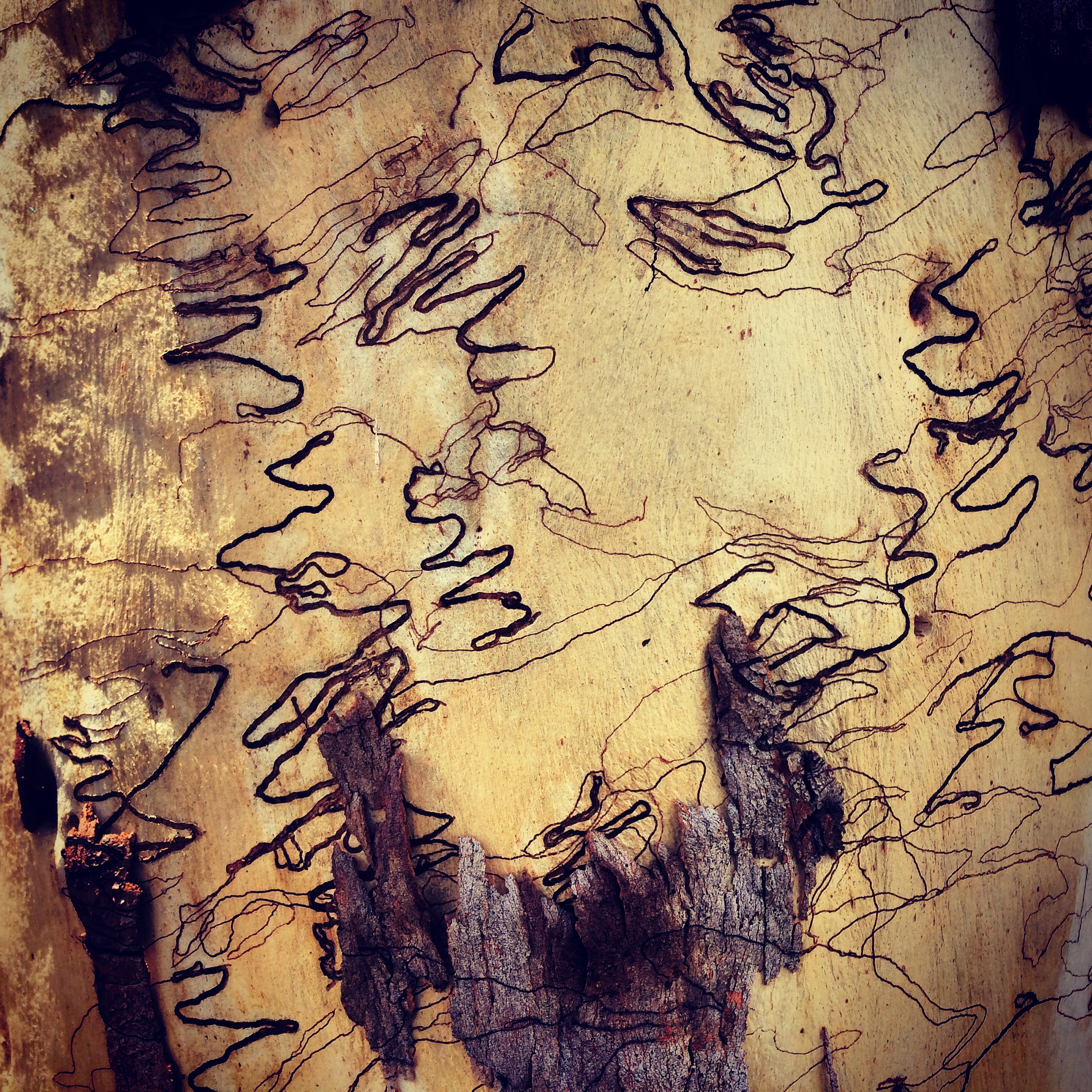 The spectacular bark of the scribbly gum