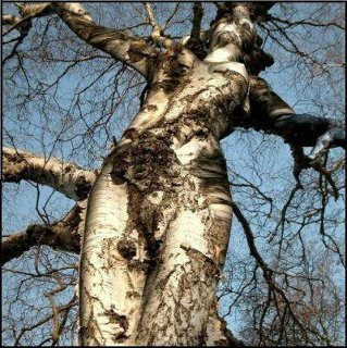 Tree Diva. Image from crystal harmonics