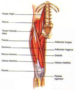hip-flexor-anatomy jpg
