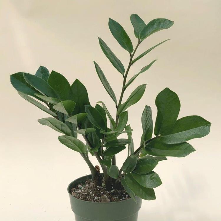 ZZ plant (aka Zamioculcas zamifolia )