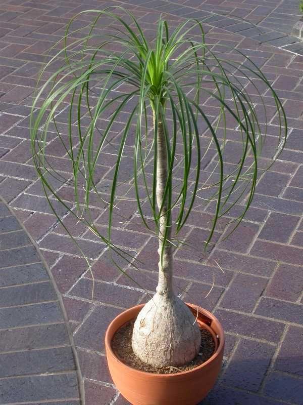 Elephant Foot Palm aka Ponytail Palm