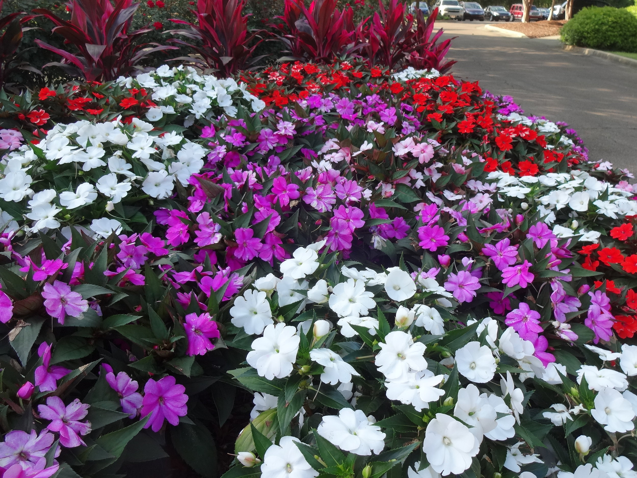 Compact SunPatiens come in a variety of colors. Photo by Dan Gill/LSU AgCenter