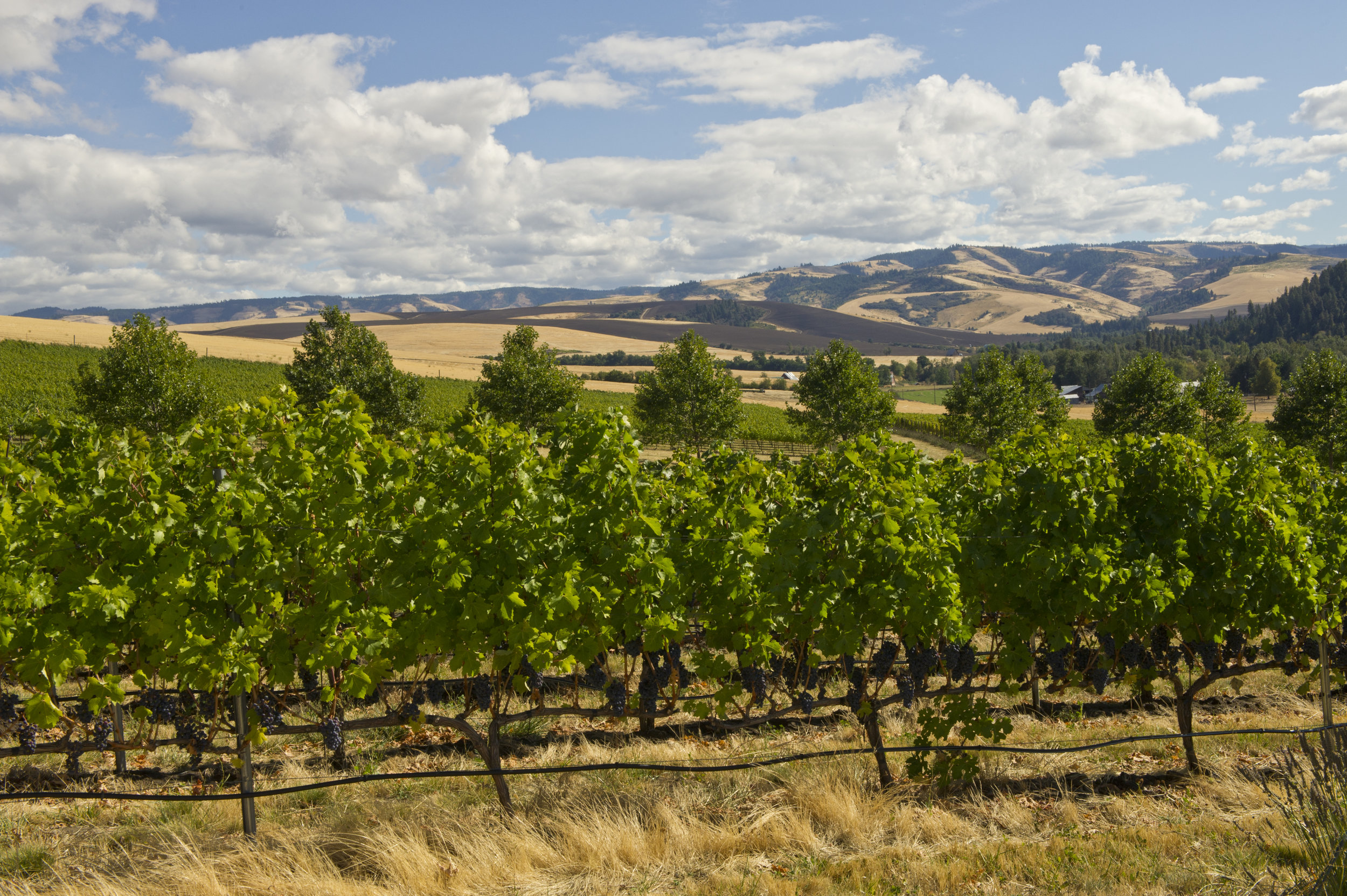 Pix-WW-Figgins Estate Vineyard.jpg