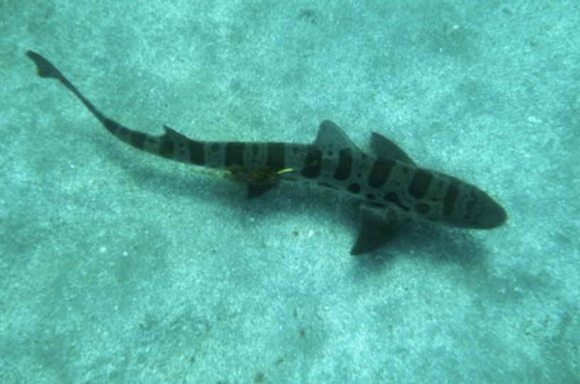 Leopard Shark at Catalina Island, CA