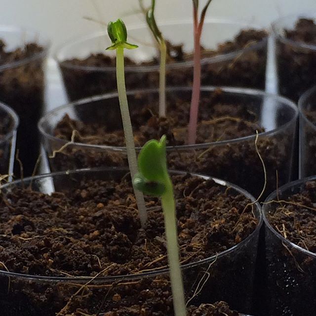 Signs of life #hydroponics #newbeginnings #germinationstation