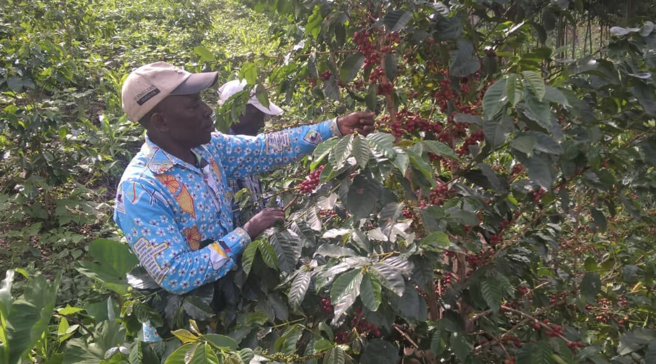 The Farm - Amani Coffee Company brings coffee from DR Congo, specifically from the COOPADE COOP-CA OF KIVU. The farm is located in North Kivu, high in the Kyondo Mountains along the National Virunga Park and Lake Edward in the territories of Beni and Lubero.