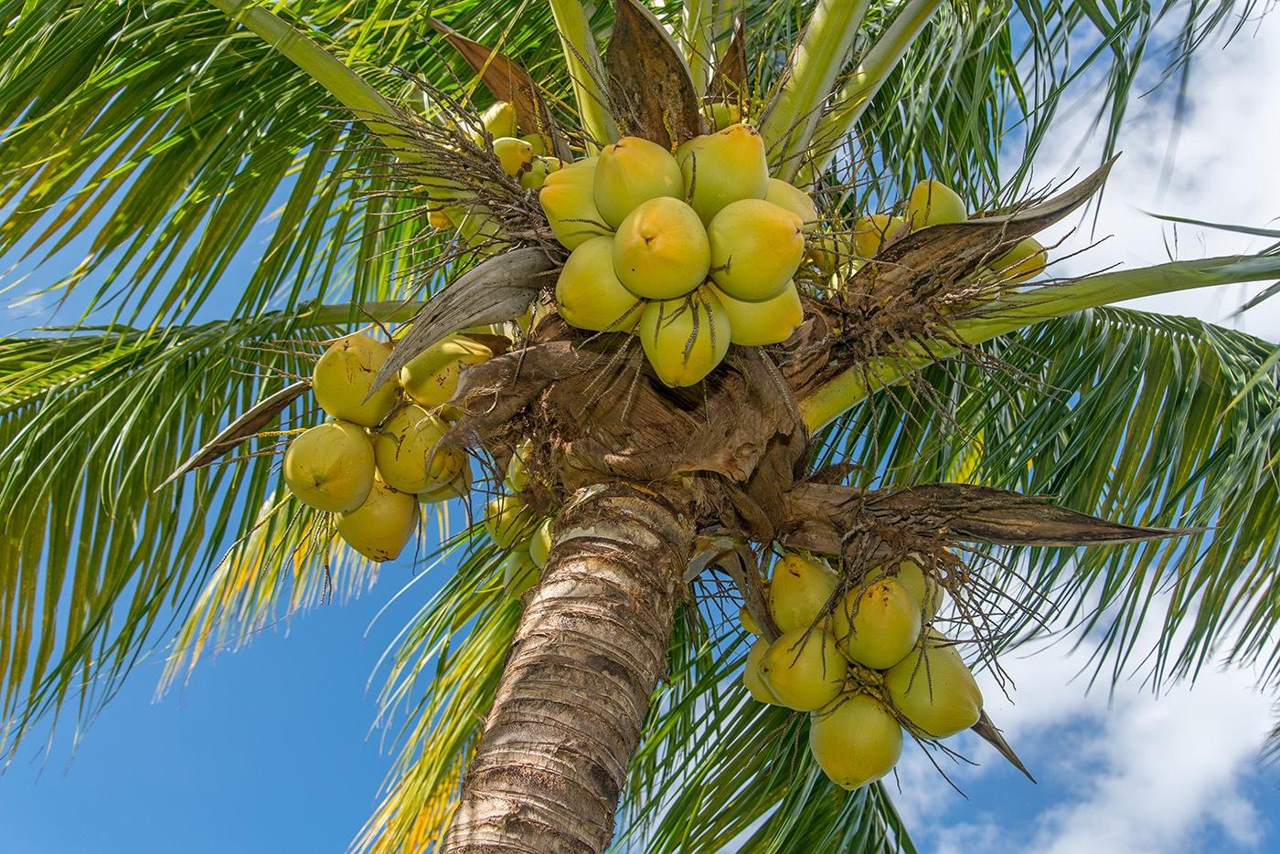 Harmony-Hill-NL17-100 coconuts.jpg