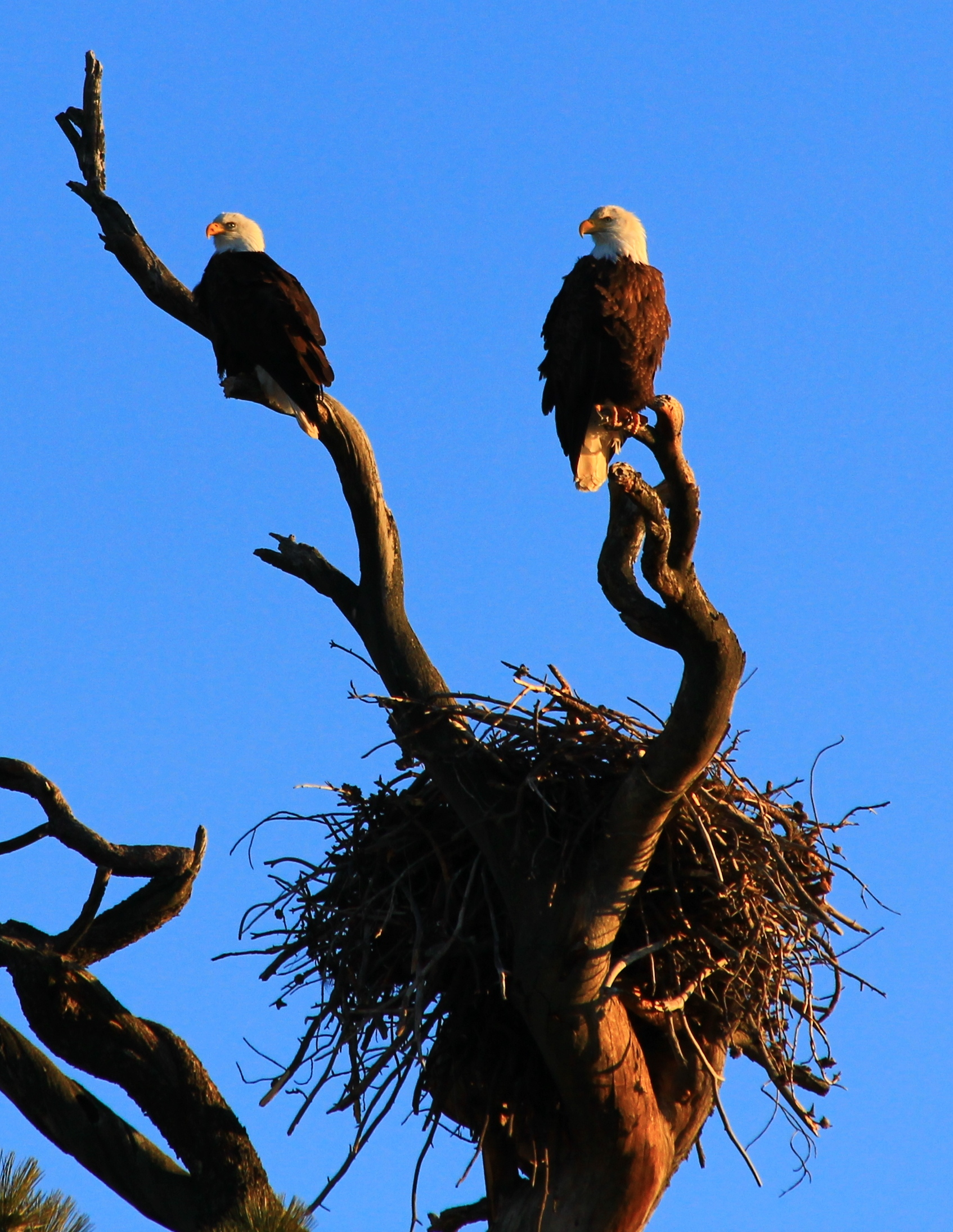 Are bald eagle nests competition for This Old House? - Indeed, they are. Bald eagles build enormous nests high in the treetops. The male and female build their nest together, and this quality time helps them cement their lifelong bond. Their cozy nurseries consist of a framework of sticks lined with softer stuff such as grass and feathers. If the nest serves them well during the breeding season, they'll keep using it year after year. And, like all homeowners, they can't resist the thought of renovating and adding to their abode. Every year, they'll spruce it up with a whopping foot or two of new material.On average, bald eagle nests are 2-4 feet deep and 4-5 feet wide. But one pair of eagles near St. Petersburg, Florida, earned the Guinness World Record for largest bird's nest: 20 feet deep and 9.5 feet wide. The nest weighed over two tons.