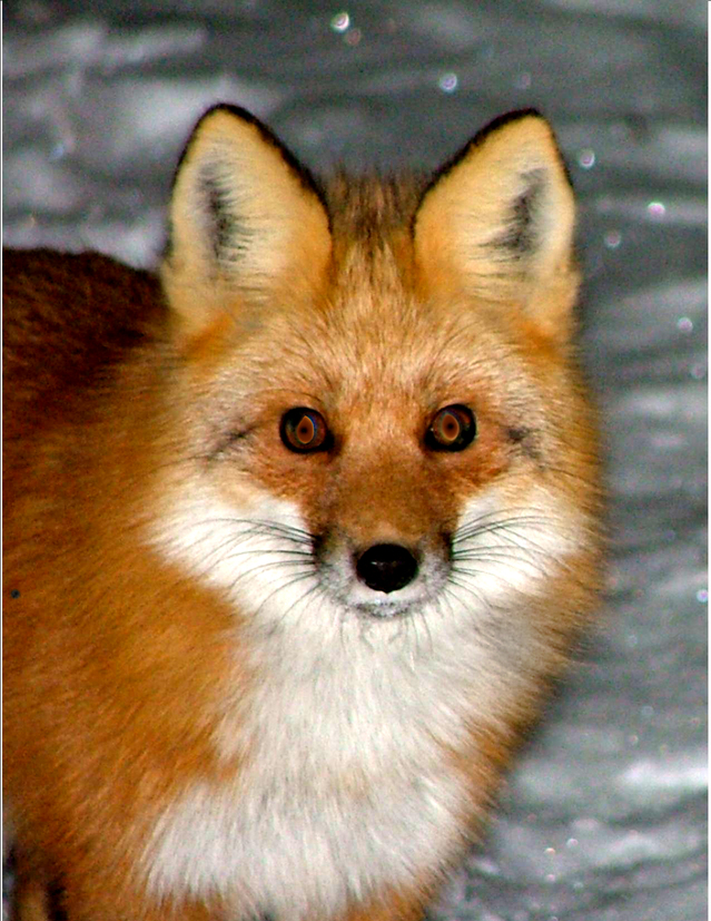 What color are Sierra Nevada red foxes? - Sierra Nevada red foxes, which are quite rare, come in three color patterns: silver, red, and half-n-half. What they all have in common is a white tail, a white chest patch, and long black leggings and booties.What's really cool about our local red fox is that until a few years ago, they were thought to be extinct. Then one was seen begging for French fries in the Mt Bachelor parking lot. It was tagged and monitored and led to scientists discovering, capturing and collaring several more – all within 8 miles of Mt Bachelor. Hikers now report sightings away from the ski resort, and cameras are being deployed to monitor them. Usually, these shy creatures hang out in the high forests (above 4,500 feet), but they have been seen as low as 3,000 feet near Tumalo Reservoir.