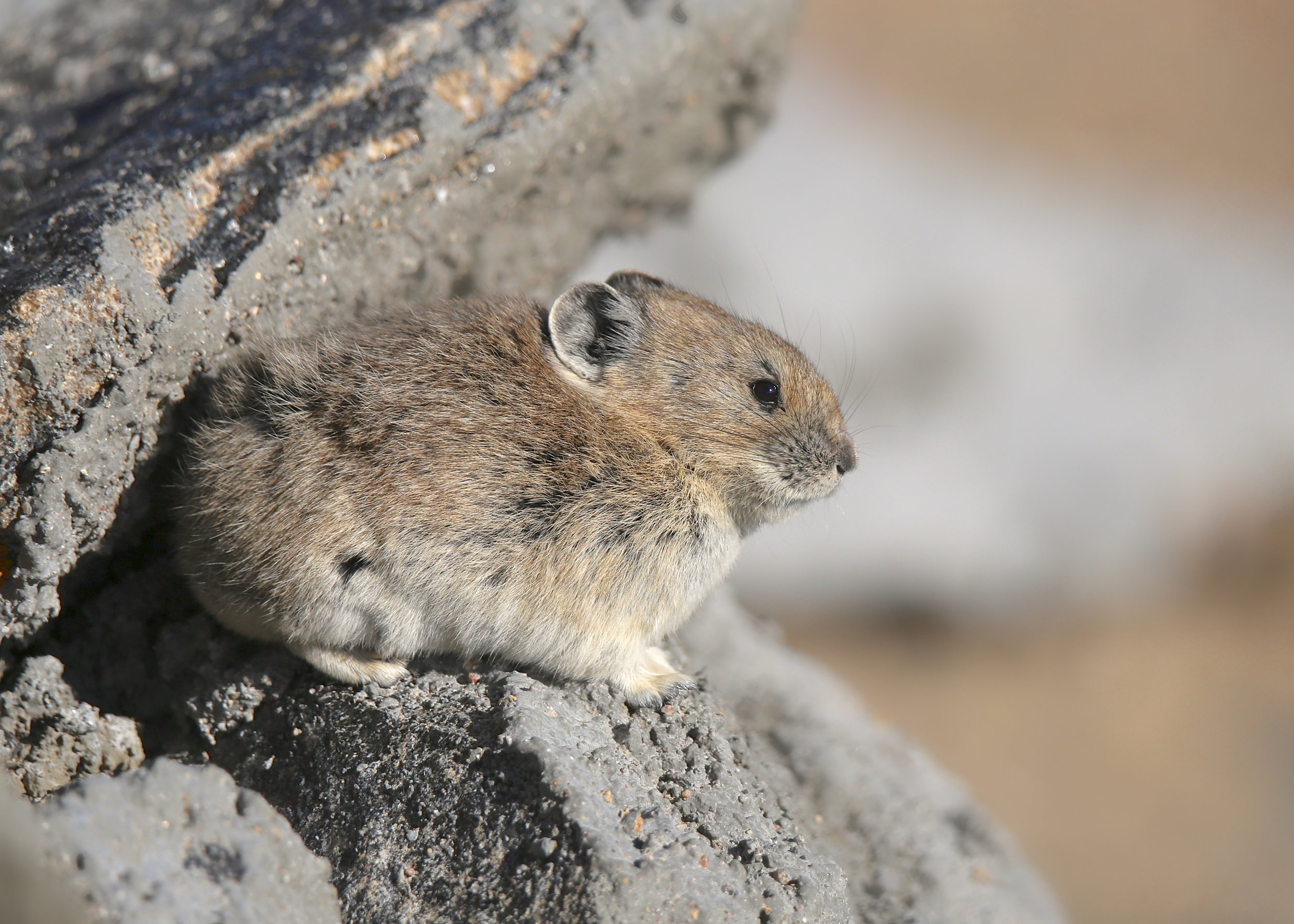 "Who's that calling out ""me, me, me""? - It's a pika, also known as a rock rabbit. Pikas live in colonies on rocky slopes in the forest and are very territorial. They make their signature ""me, me, me"" sound to tell other pikas where the boundaries are between their dens. Though they don't look like it, pikas are related to rabbits and hares. Their short ears, tiny size, and dense coats make them look more like fuzzy balls than bunnies. The pika has one of the longest tails of all lagomorphs, but it's hidden in the thick fur, so it looks like it doesn't have a tail at all.The pika spends a great deal of time gathering flowers and grasses for winter. Pika don't hibernate. Instead, they spend the warm months gathering vegetation to sustain them through the long, harsh winters. They spread their collected vegetation on the rocks to cure in the sun, then stack it into hay piles and store it under the rocks. One study discovered their 'haystacks' of gathered goodies can weigh up to 61 pounds! These stashes may easily cover an area of 100 square meters and can reach up to two feet high. A typical pika hay pile would fill a bathtub, and easily contains 30 different types of plants. Biologists have learned that during just a 10-week time period, one pika will make 14,000 foraging trips, as many as 25 per hour, to secure its food stash."