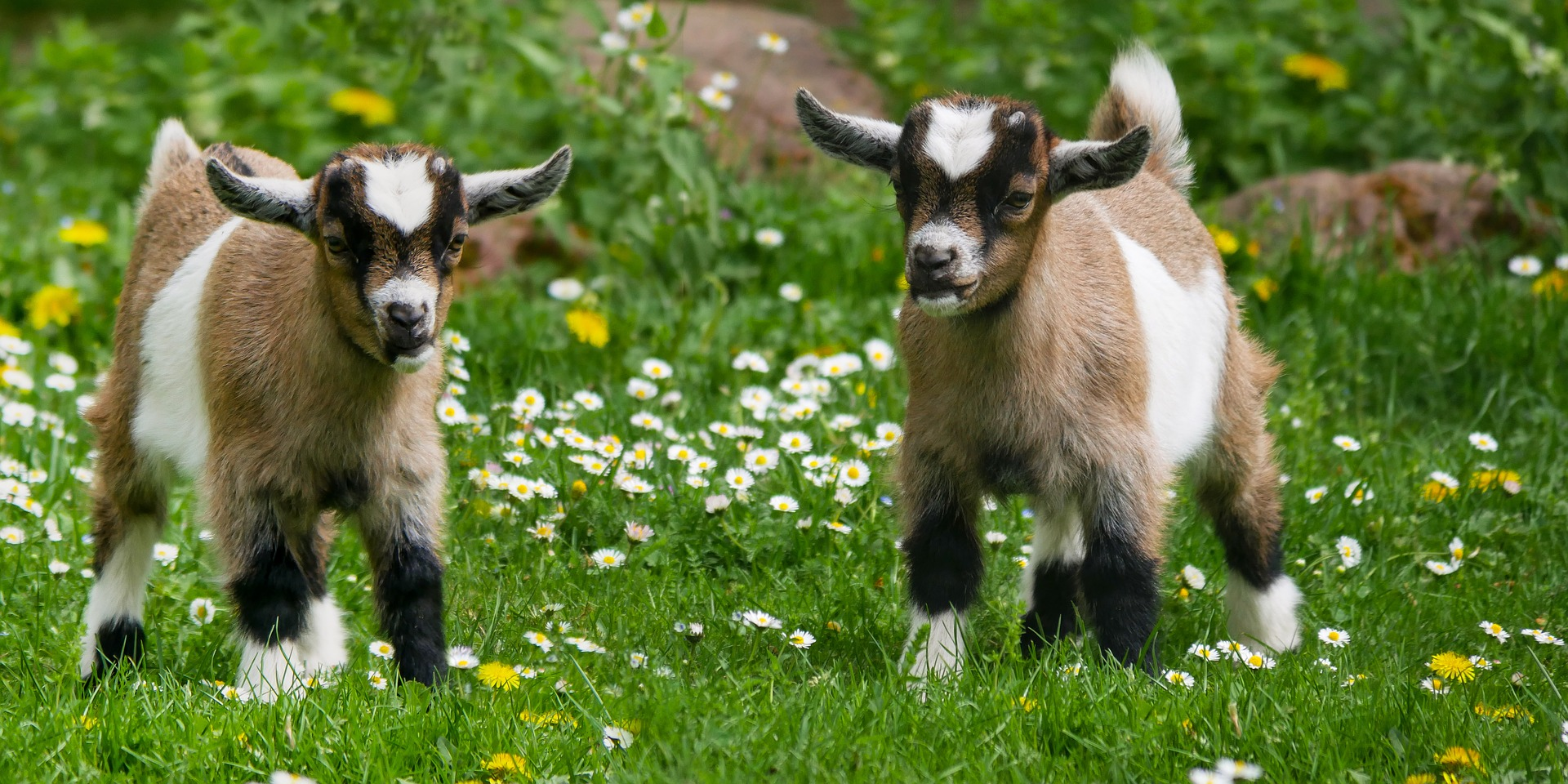 with pygmy goats running around at my feet. -