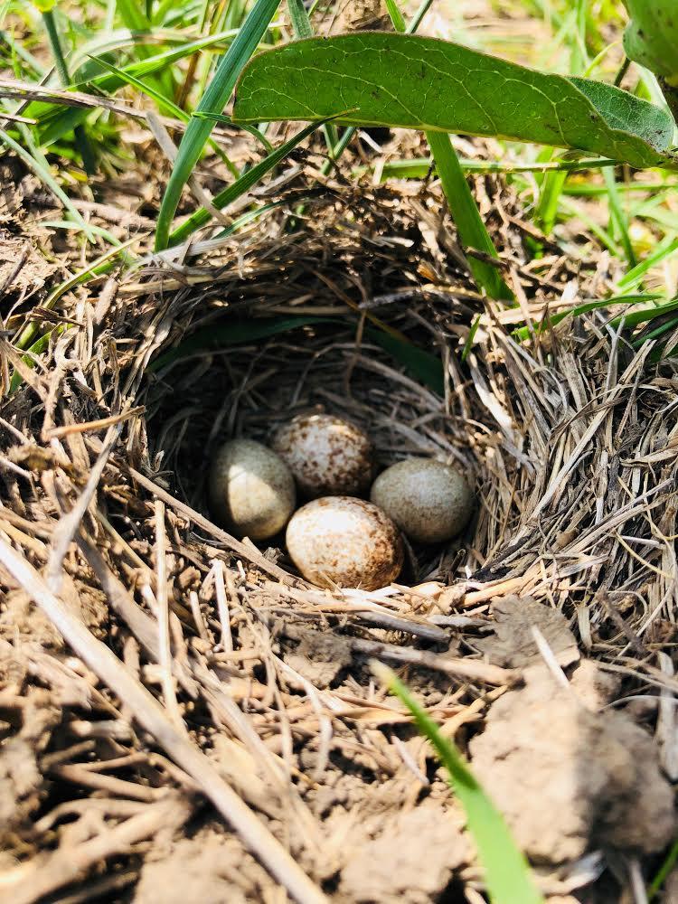 Ground Nest.jpg