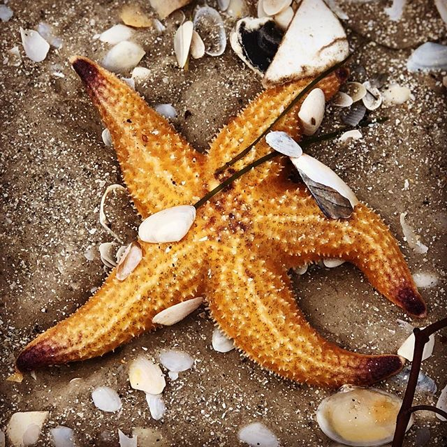 Saw stars everywhere on my beach walk...⭐️🌟💫⭐️ I wonder what the message was for me??? Sometimes I feel like a star, sometimes I feel like a 'fish out of water', sometimes I feel washed up, sometimes I feel like I'm shining brightly, sometimes I'm going in 5 different directions...and then I remembered that I get to choose it to mean whatever I want. My thoughts create my own feelings and my own reality...I choose to shine!!! 🤩#mychoice #mydreammyreality #shine #melbournelife
