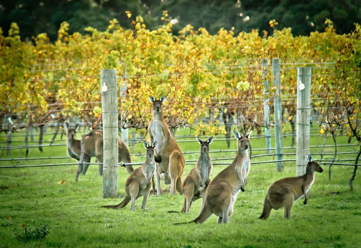 Look at these kangaroos chillin in the vineyard. LOOK AT THEM. I want them allllllll  Photo cred: https://www.thedrinksbusiness.com/2017/05/concentration-and-generosity-define-margaret-river-chardonnay/