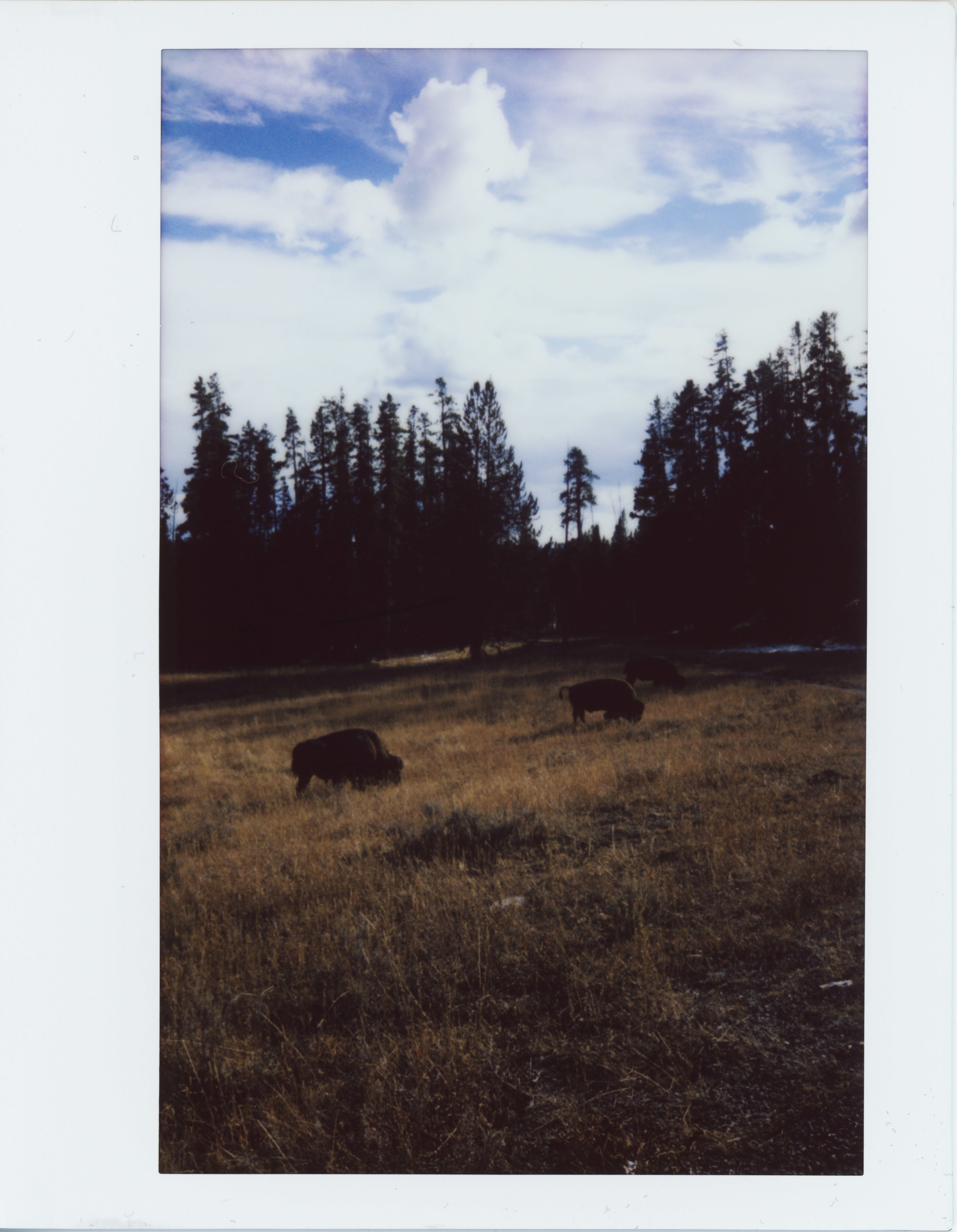Three Grazing Buffalo