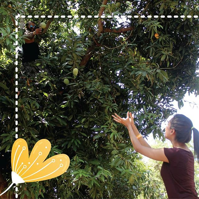We don't know about you, but we can't wait to climb trees again at the next edition of #TheGreatMangoFestival.  #hanureddymangotourism #mango #mangopicking #mangolove #mangopicking #activities #orchard #chennai #thingstodo