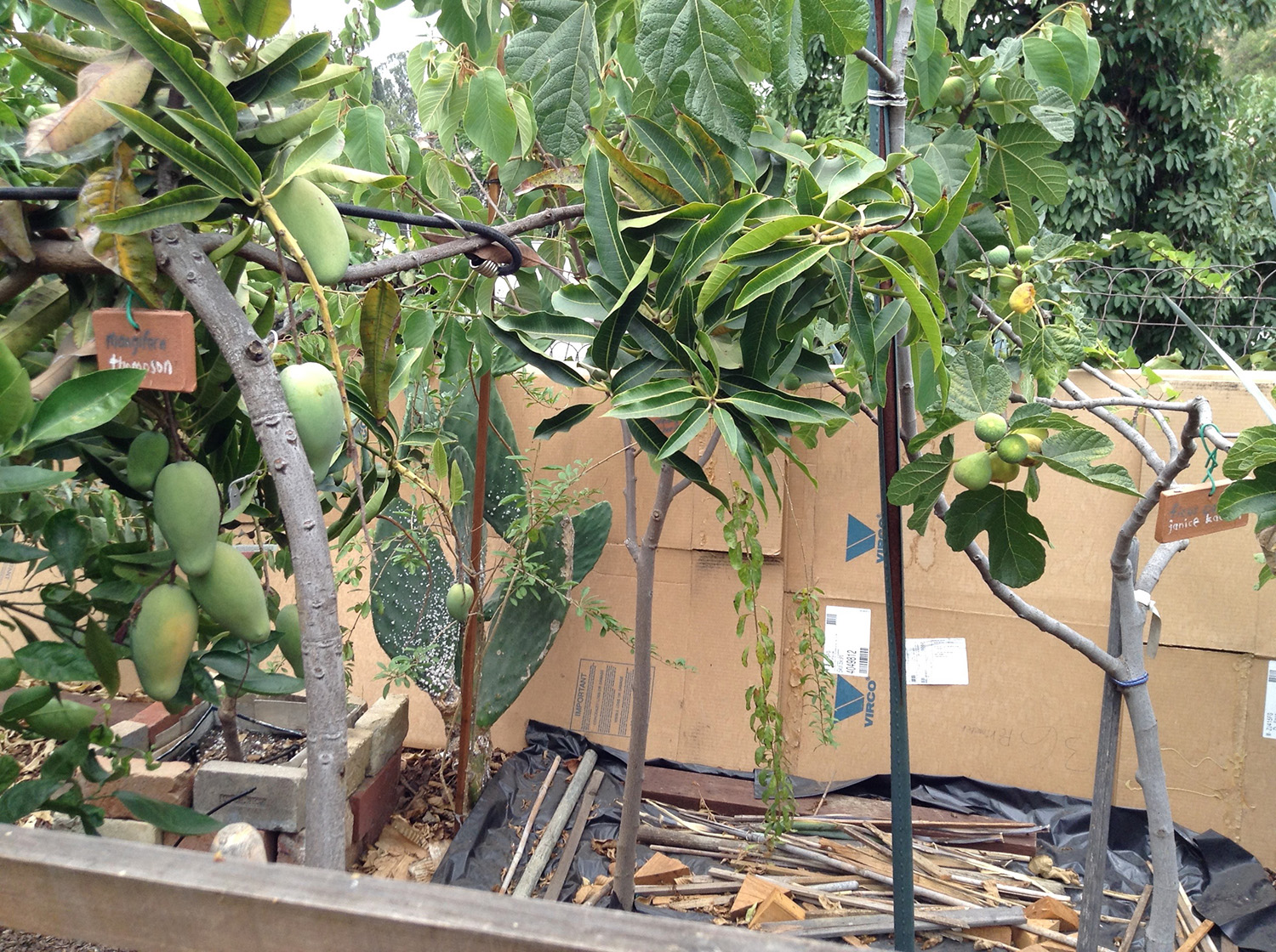 mangos on a young tree