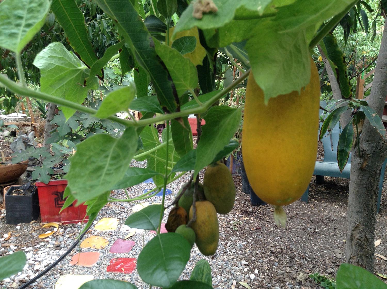 fruiting manila mango tree