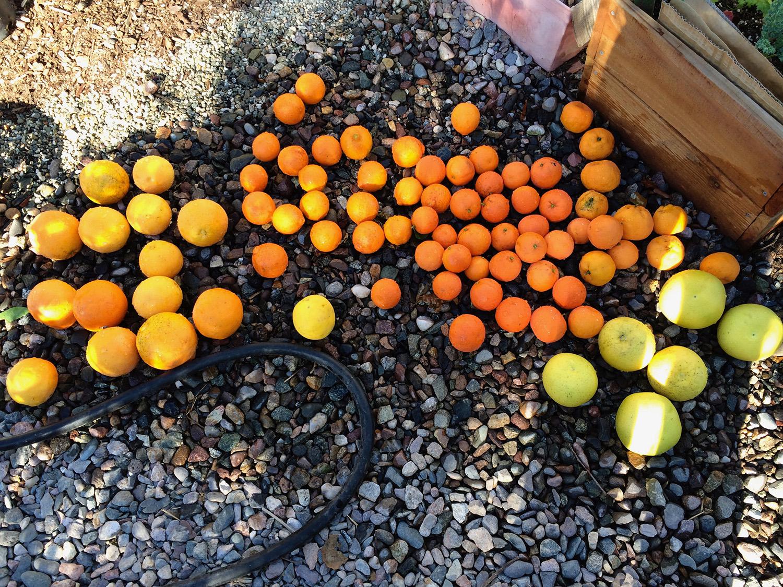 different varieties of citrus
