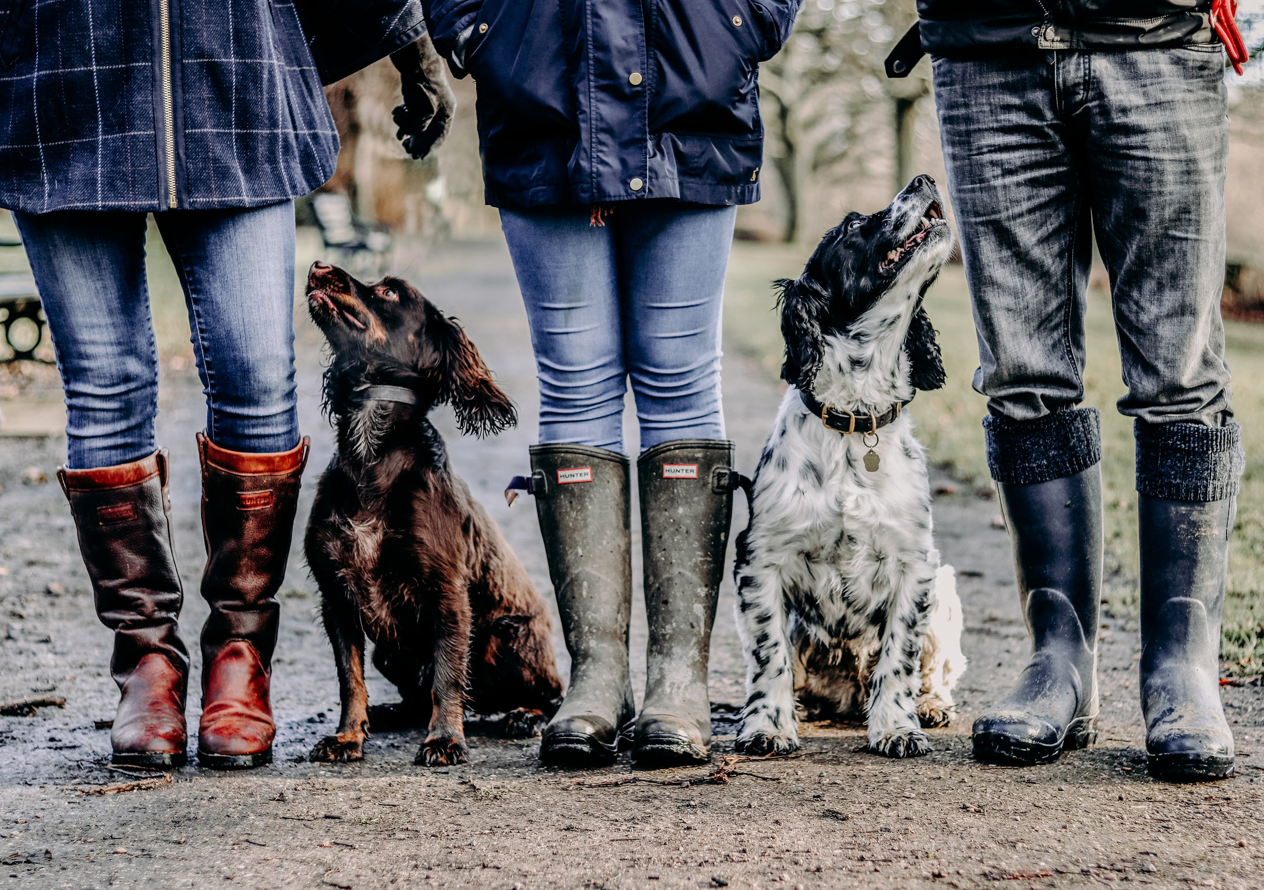 Springer spaniels photography in Chesterfield