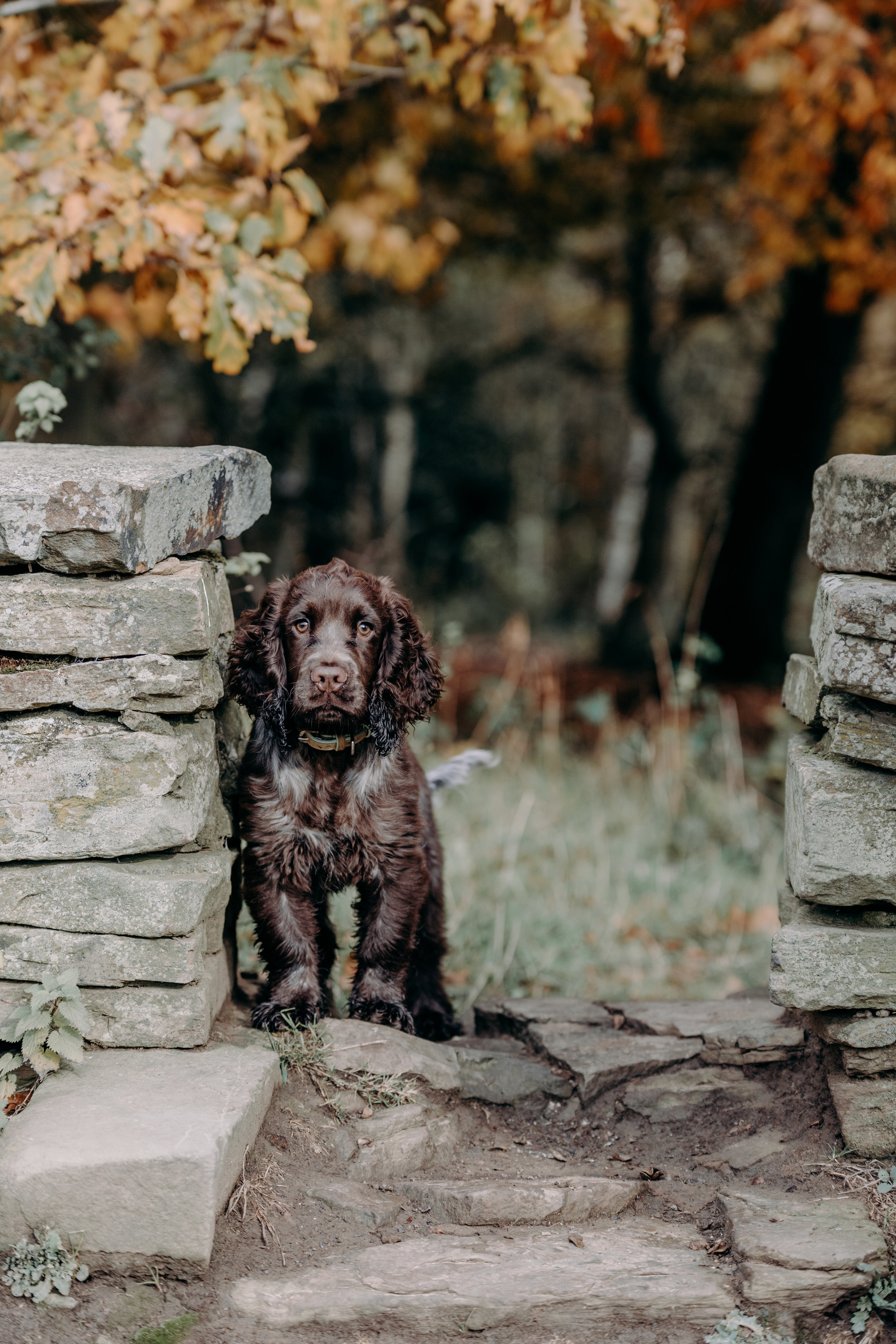 Cocker spaniel puppy photography