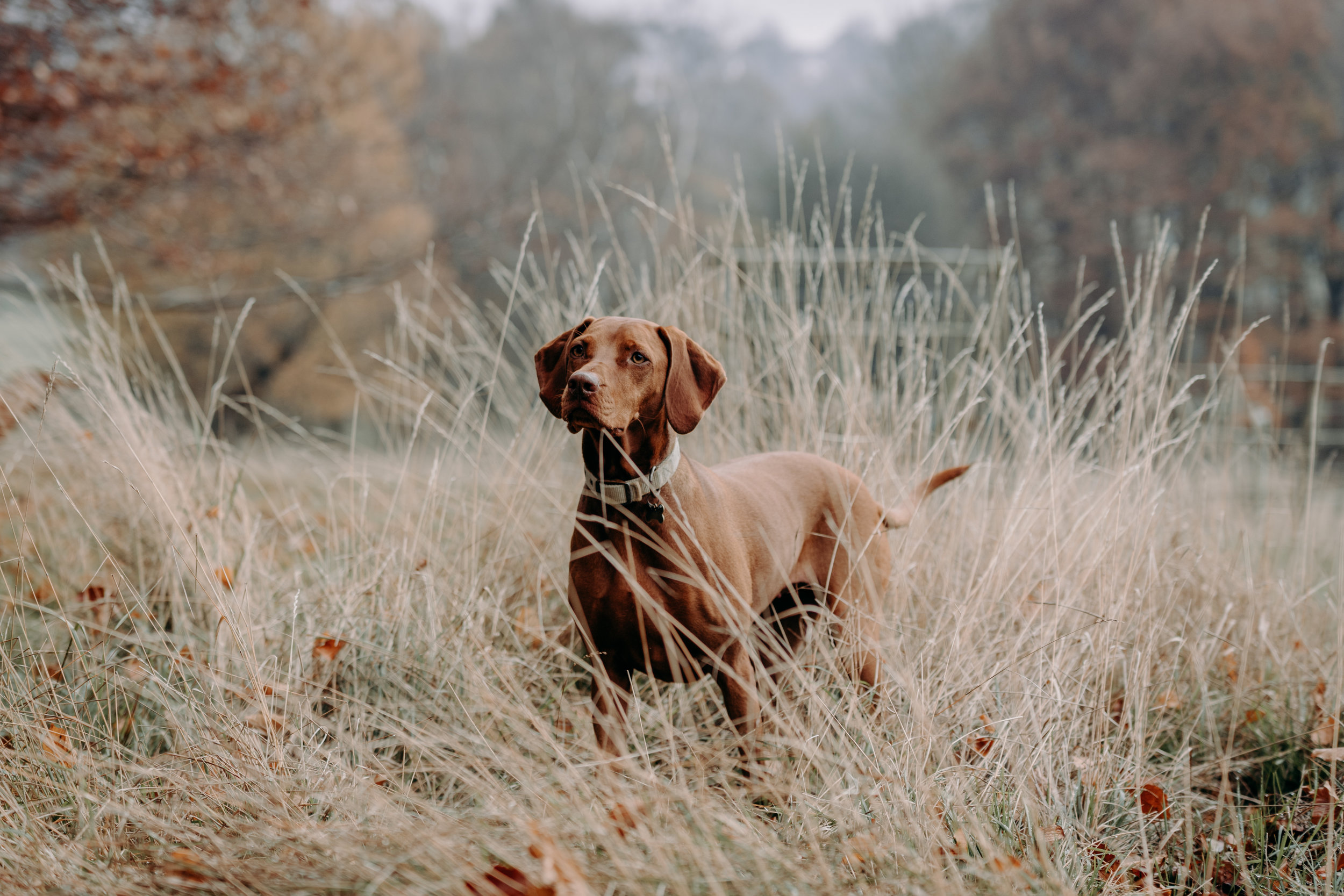 Vizsla photography in Chesterfield