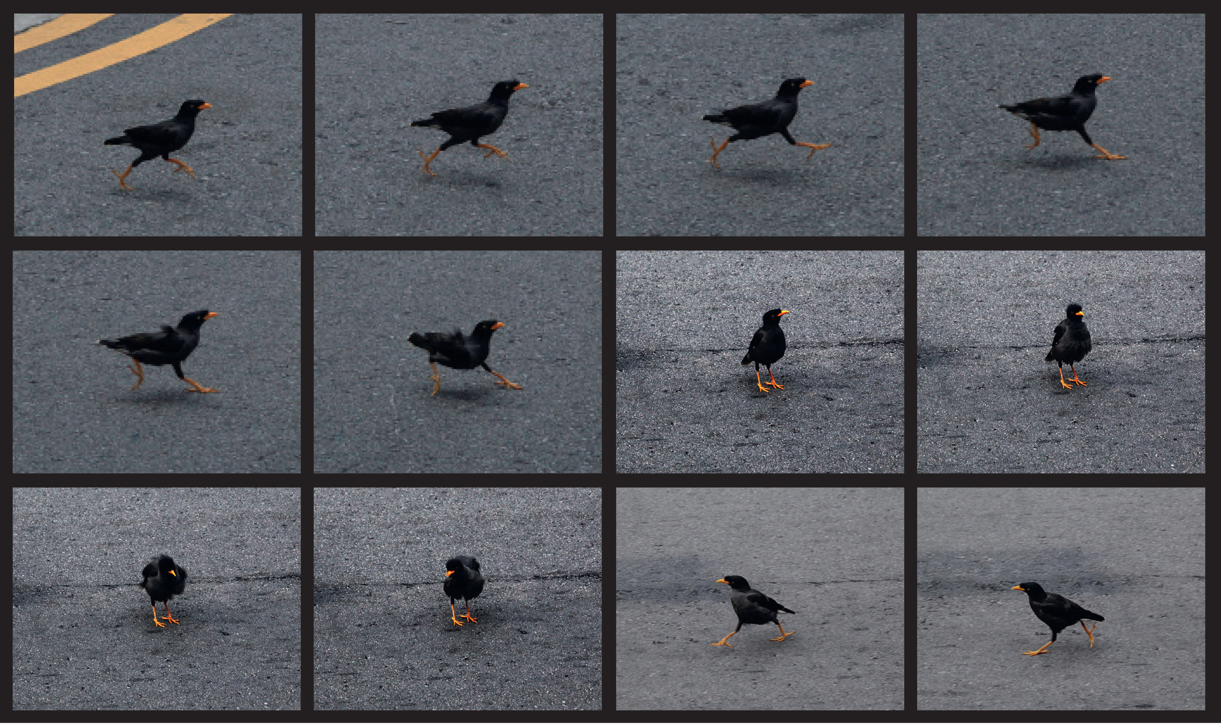 Mynah in motion.jpg