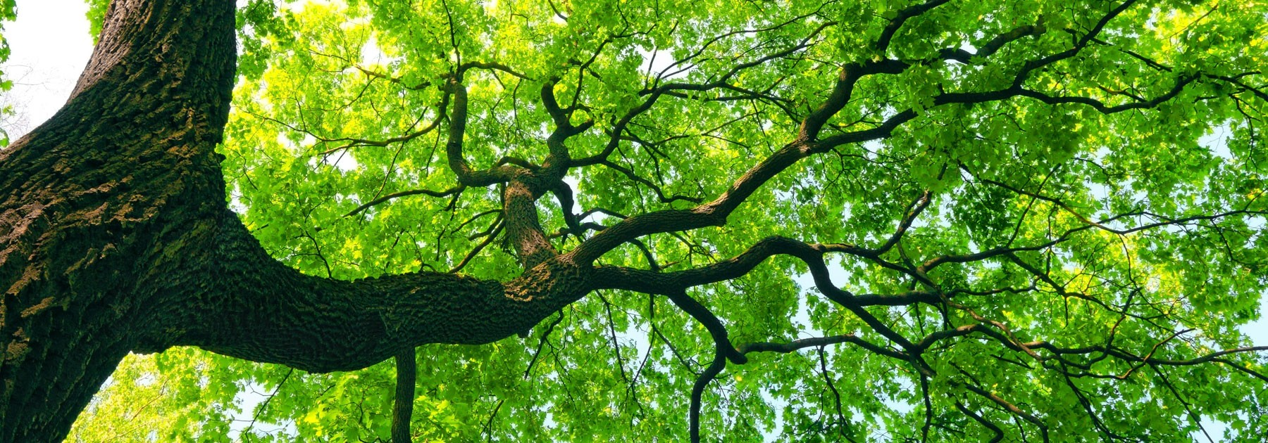 Mighty-Tree-With-Green-Leaves-Banner-Nature-To-Nurture-Aromatherapy-In-Hemel-St-Albans.jpg