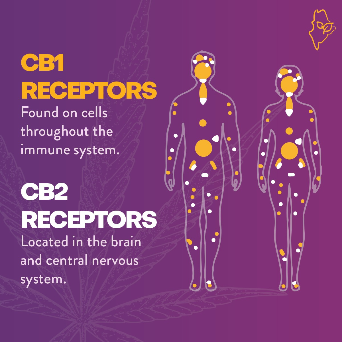 Primary receptors in our endocannabinoid systems