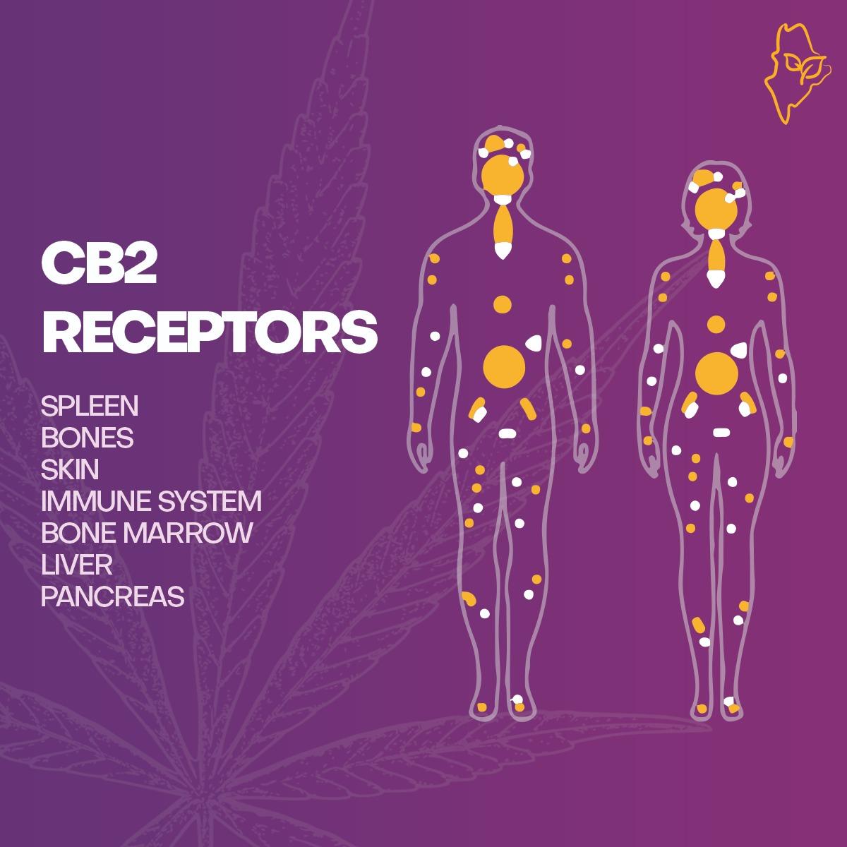 CB2 Receptor and our endocannabinoid sytems