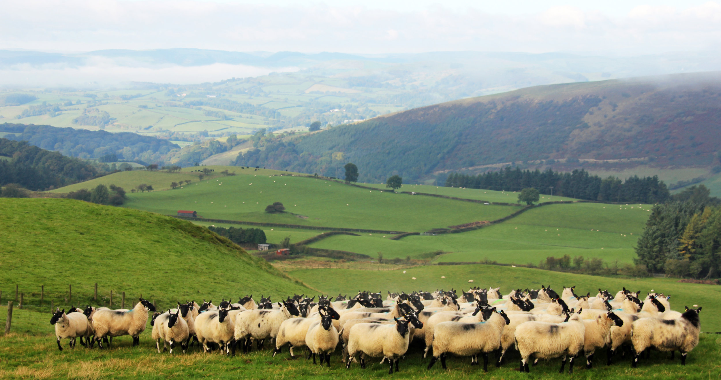 sheep with view.jpg
