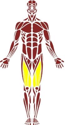 Quadriceps.jpg