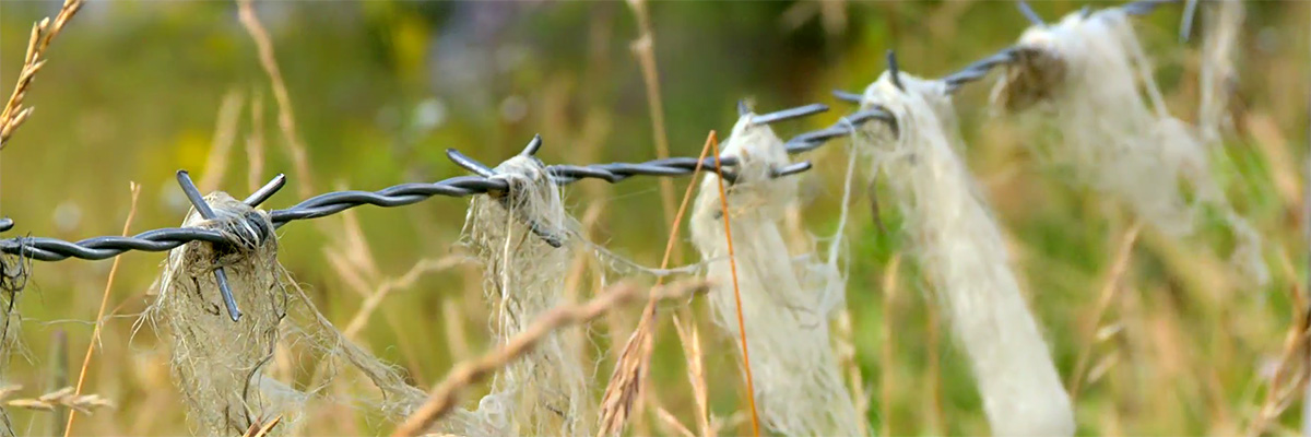 Sheeps wool on barbed wire.jpg