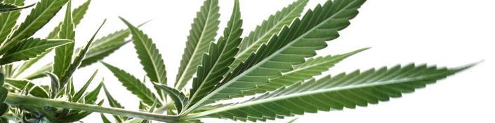 marijuana-leaves-underneath-plant-16897047.jpg