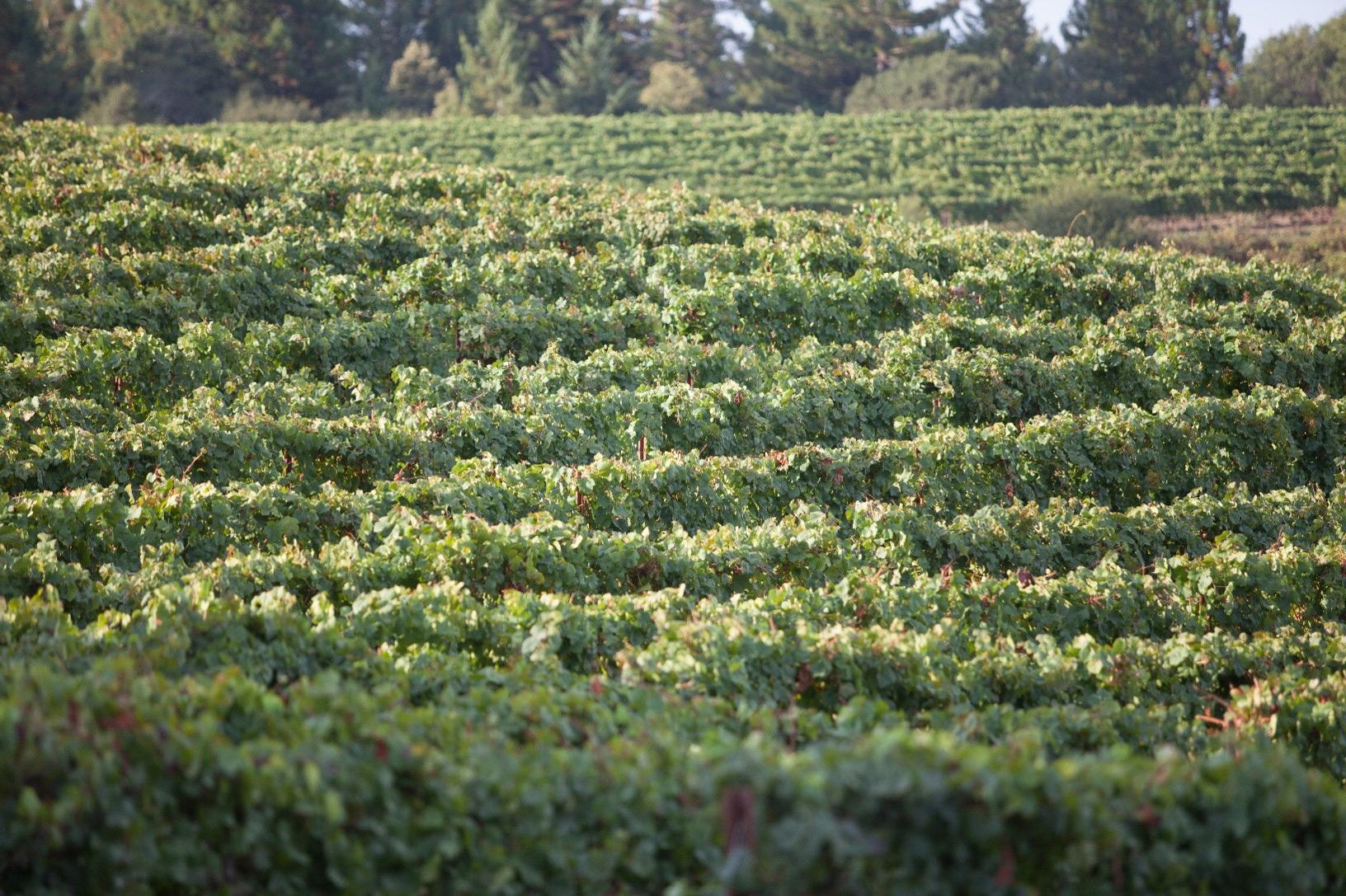 vineyard_web1.jpg