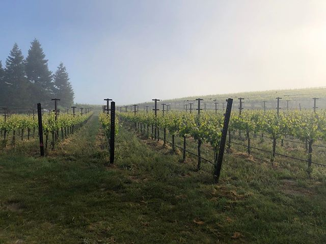A beautiful layer of fog this morning, blanketing some of our pinot noir vineyards in western Sonoma County.