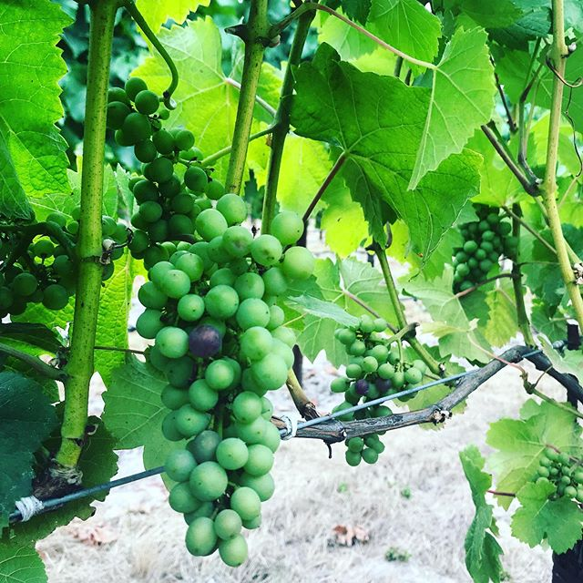 One step closer to the 2019 harvest. The first glimpses of veraison starting to occur in Sonoma Coast. #vintage2019 #pinotnoir #veraison
