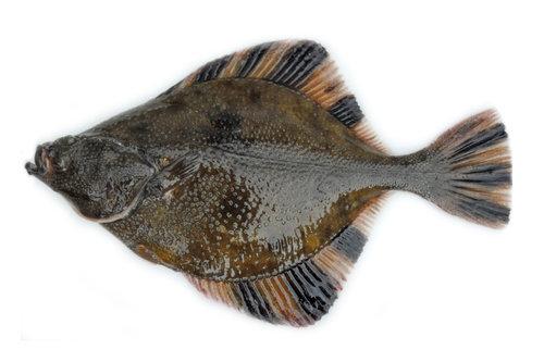 Starry Flounder.jpg
