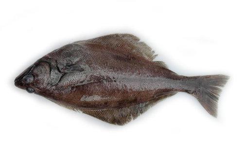 Arrowtooth Flounder.jpg