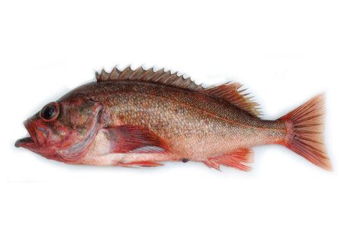 NorthernRockfish.jpg