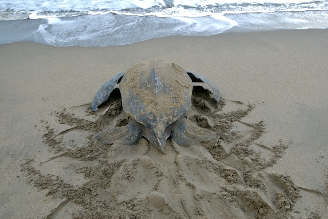 trin leatherback tracks.jpg