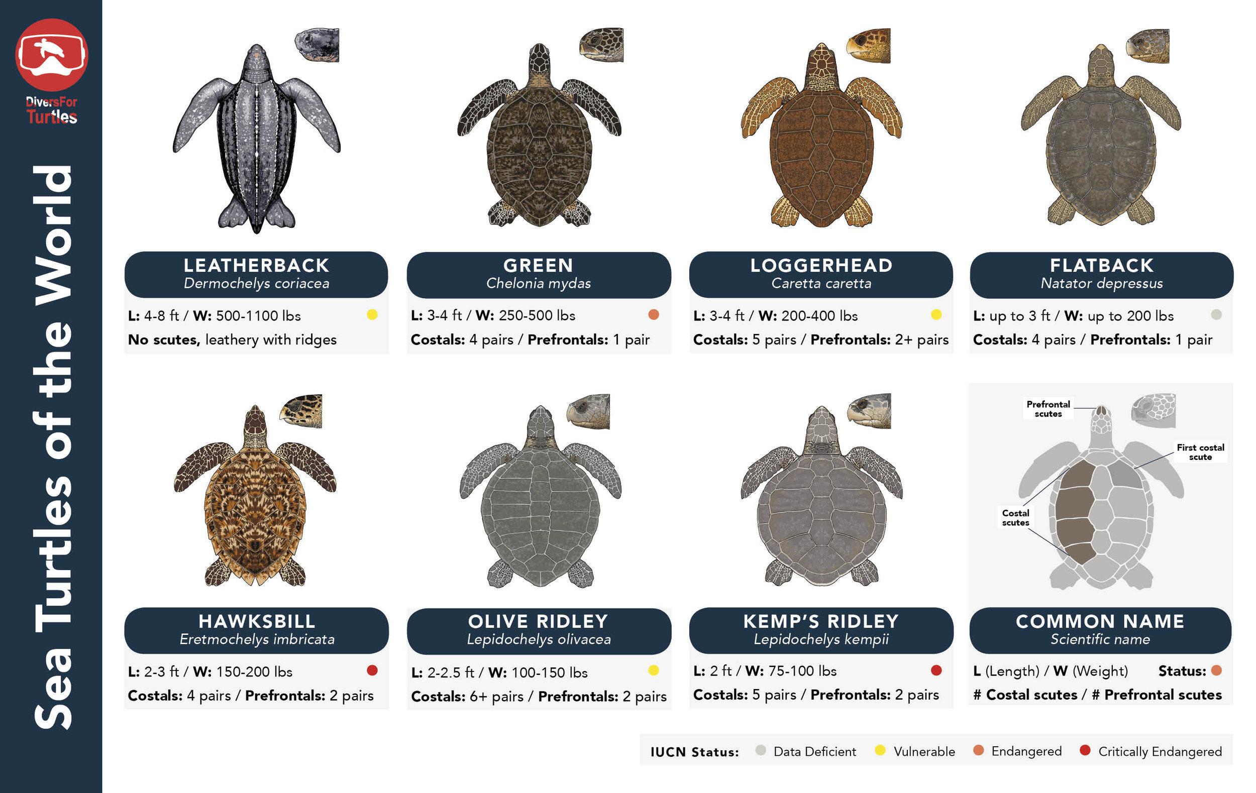 Sea Turtle ID Guide