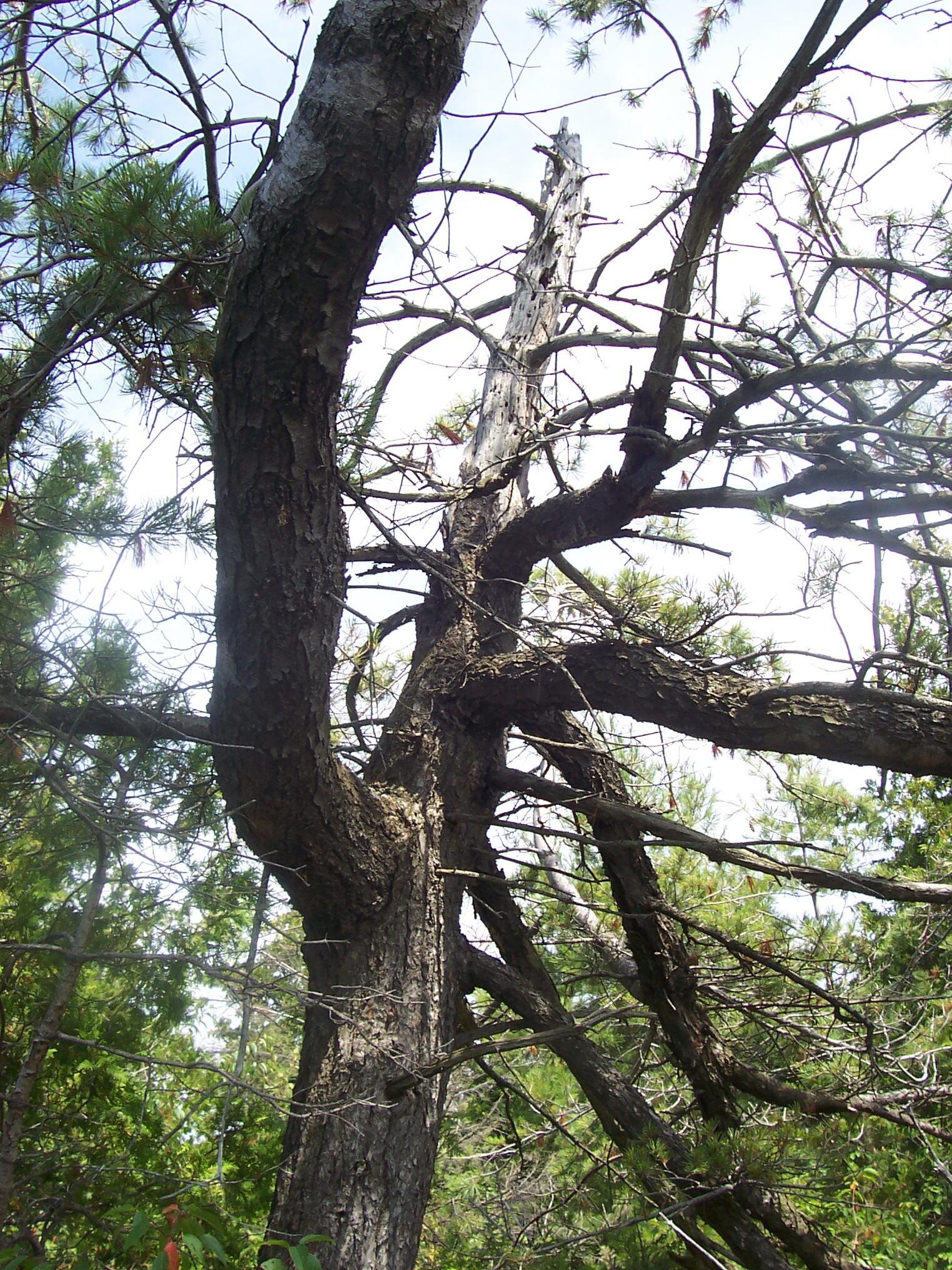 Geo. Bay Tree #2.JPG