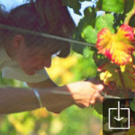 Hand harvesting Pinot Noir