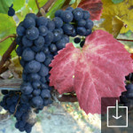 Ready to be picked Pinot Noir