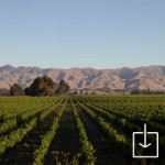 Our Sauvignon Blanc Vines looking to the Wither Hills