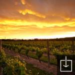 Vineyards under sunset