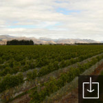 Somerset Vineyard
